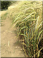SK8838 : Ripening barley  by Kate Jewell