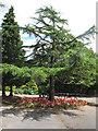 SJ6855 : Queen's Park: cedar tree by Stephen Craven