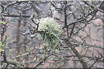 SP9314 : A Magnificent Lichen at College Lake, near Tring by Chris Reynolds