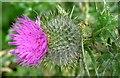 J3675 : Thistle flower, Victoria Park, Belfast (July 2015) by Albert Bridge