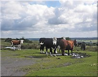 SS8429 : Cattle on Guphill Common by Roger Cornfoot