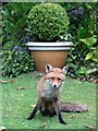 SK3284 : Fred the suburban fox in Sheffield by Neil Theasby