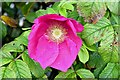J3473 : Dog rose flower, Belfast (August 2015) by Albert Bridge