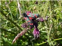 NS3778 : Six-spot Burnet Moth (Zygaena filipendulae) by Lairich Rig