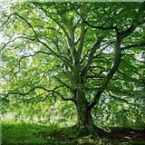 NH5857 : Beech by the lochan in Drummondreach Oak Wood by Julian Paren