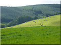 NY2991 : Cattle on hillside near Enzieholm by Oliver Dixon