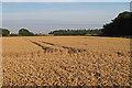 TL9138 : Wheat field near Goulding's Farm, Newton by Roger Jones