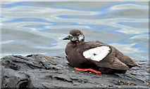 J3979 : Black guillemot, Holywood (August 2015) by Albert Bridge