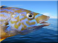 NJ1971 : The Cuckoo Wrasse and his multi-coloured coat (Labrus mixus) by Des Colhoun