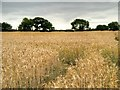 TF8110 : Cornfield near Swaffham by David Dixon