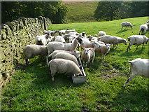 SE0322 : Daft sheep on Sowerby Bridge FP100, Link A by Humphrey Bolton