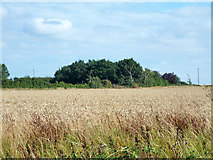 TL9218 : Wheat field by Roundbush Road by Robin Webster
