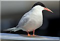 J3474 : Tern, Lagan Weir, Belfast - August 2015(1) by Albert Bridge