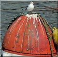 J3474 : Black-headed gull, River Lagan, Belfast (August 2015) by Albert Bridge