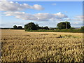 SE8558 : Wheat field and Riggs Farm by Jonathan Thacker