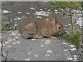 SN6777 : Pisgah rabbit by Nigel Brown