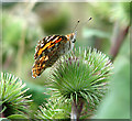 TG4520 : Painted Lady butterfly (Vanessa cardui) on burdock by Evelyn Simak