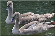 ST5545 : Wells : Swans at Bishop's Palace by Lewis Clarke