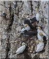 TA1974 : Gannets and Kittiwakes, Bempton Cliffs, Yorkshire by Christine Matthews