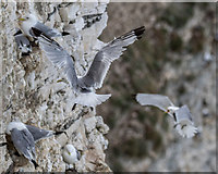 TA1974 : Kittiwakes, Bempton Cliffs, Yorkshire by Christine Matthews