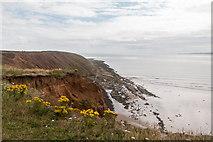 TA1281 : Ragwort on the Cliffs at Filey Brigg, Yorkshire by Christine Matthews