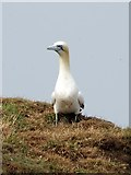 TA1974 : Gannet  looking  for  nesting  material  (1)  Bempton  Cliffs by Martin Dawes