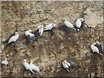 TA1974 : Gannets  with  young  (Guga's)  on  Bempton  Cliffs by Martin Dawes