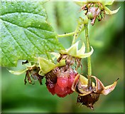 J4078 : Wild raspberry, Glenlyon, Holywood (August 2015) by Albert Bridge