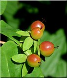 J4078 : Tutsan berries, Glenlyon, Holywood - August 2015(2) by Albert Bridge