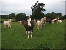 SO8843 : Cattle in a field by Philip Halling