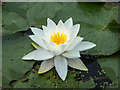 TQ1478 : Water Lily on Lake, Osterley Park, London by Christine Matthews