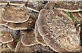 J3268 : Fungi, Lagan towpath, Belfast - August 2015(2) by Albert Bridge