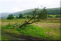 SD9475 : Leaning tree of Wharfedale by Bill Boaden