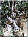 NZ1198 : Sycamore tree growing on sandstone face of disused quarry by Andrew Curtis