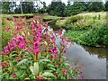 NZ5610 : Himalayan Balsam by the River Leven by Mick Garratt