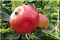 SU7456 : Apples in West Green House Garden by Steve Daniels