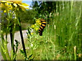 H5776 : Cinnabar moth caterpillar at Loughmacrory Lough by Kenneth  Allen