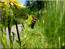 H5776 : Cinnabar moth caterpillar at Loughmacrory Lough by Kenneth  Allen