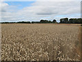 SE3439 : Wheatfield off Whin Moor Lane by Stephen Craven