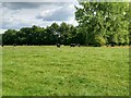 SJ4471 : Cows Grazing near Wimbolds Trafford by David Dixon