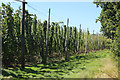 TQ8128 : Hops at Hoad's Farm by Oast House Archive