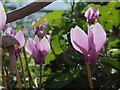 SX9163 : Cyclamen, Royal Terrace Gardens by Derek Harper