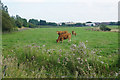 SD6507 : Brown cows near Ditcher's Farm by Bill Boaden
