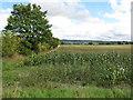 SP7701 : Maize above Bledlow by David Hawgood