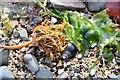 J4181 : Seaweed, Cultra - September 2015(4) by Albert Bridge