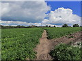 SJ7251 : S Cheshire Way crossing carrot crop, SW of Weston near Crewe by Colin Park