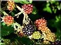 J4582 : Blackberries, Helen's Bay - September 2015(2) by Albert Bridge