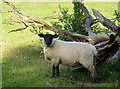 TQ8957 : Sheep near Frinsted by pam fray