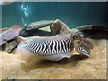 SH4765 : Common Cuttlefish at Anglesey Sea Zoo by Jeff Buck