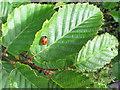 SU7398 : 7-spot ladybird in hedgerow by David Hawgood